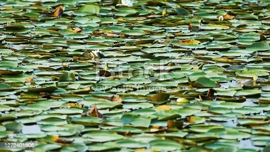 Densely packed lily pads floating on a pond in the summertime.