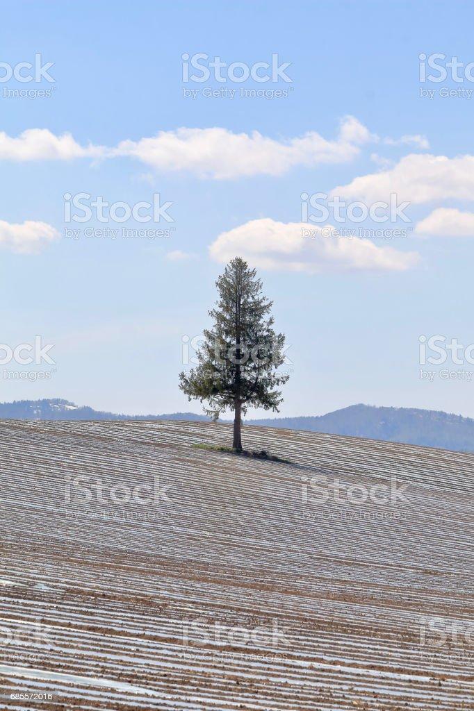 美瑛山凹痕玉米田 / 農業方法覆蓋塑膠布脊 免版稅 stock photo