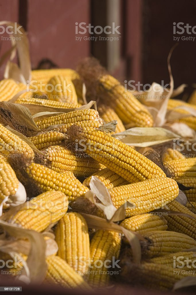 Dent Corn royalty-free stock photo