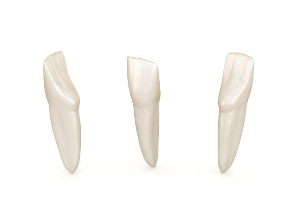 Dental anatomy - mandibular central incisor tooth. Medically accurate dental 3D illustration Dental anatomy - mandibular central incisor tooth. Medically accurate dental 3D illustration cusp stock pictures, royalty-free photos & images