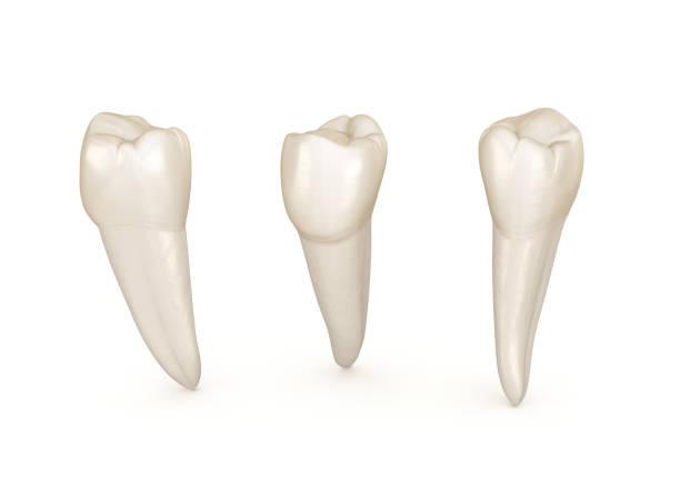 Dental anatomy - mandibular premolar tooth. Medically accurate dental 3D illustration Dental anatomy - mandibular premolar tooth. Medically accurate dental 3D illustration cusp stock pictures, royalty-free photos & images
