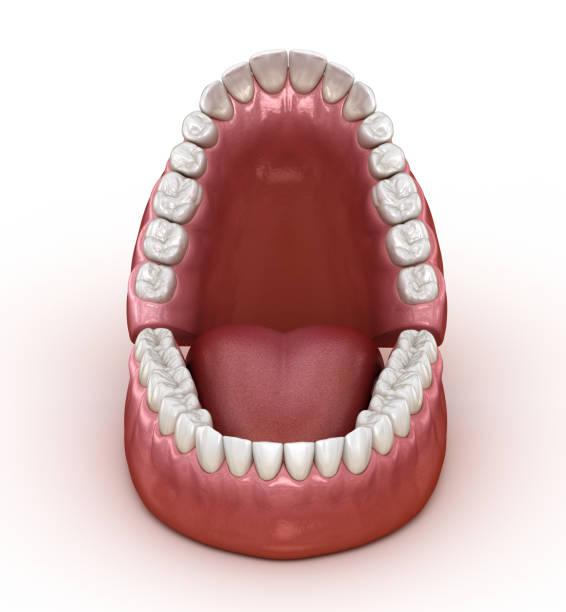 tandheelkundige anatomie-geopende kunstgebitten. medisch nauwkeurige tandheelkundige 3d illustratie - dentine stockfoto's en -beelden
