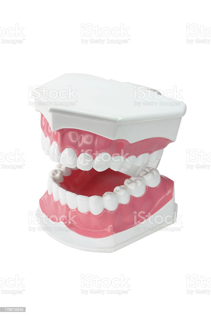 dental model of teeth isolated on white background stock photo