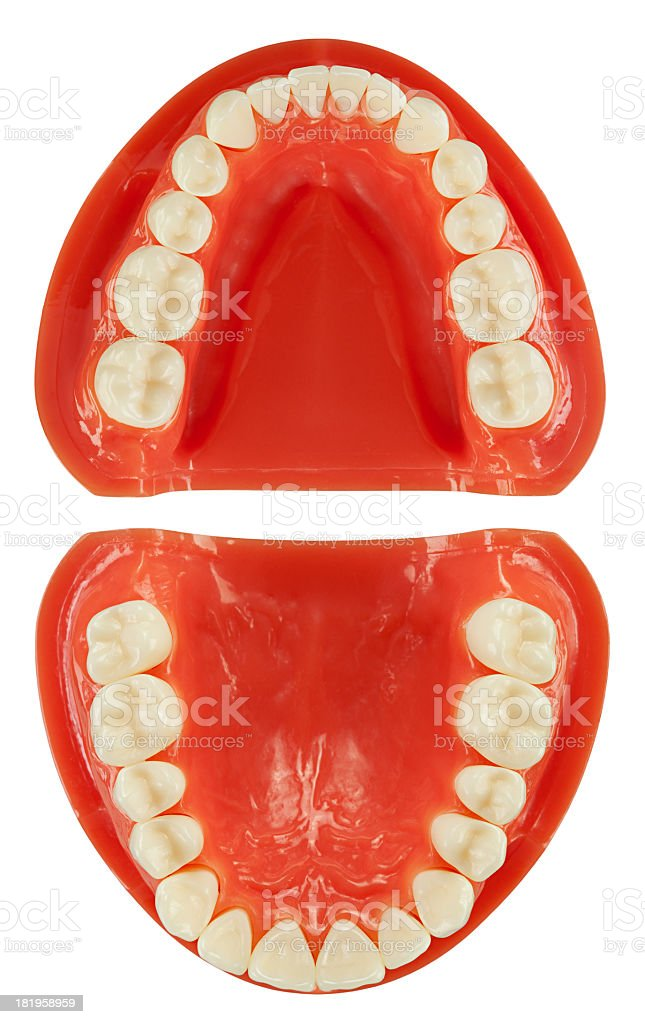 Dental Model (clipping path) stock photo