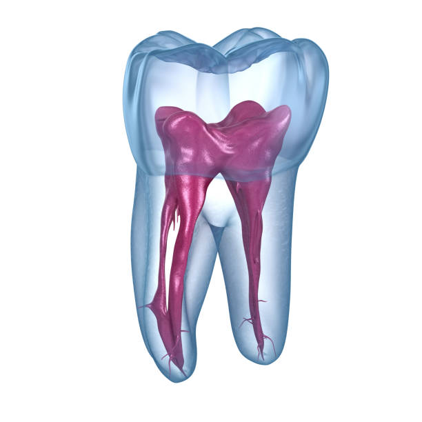Dental root Anatomy-första maxillary molar tand. Medicinskt noggrann Dental 3D illustration bildbanksfoto