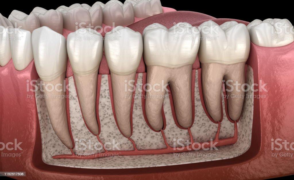 Dental Root anatomy of mandibular human gum and teeth, x-ray view....