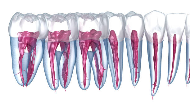 Dental root anatomy, Xray view. Medically accurate dental 3D illustration Dental root anatomy, Xray view. Medically accurate dental 3D illustration cusp stock pictures, royalty-free photos & images