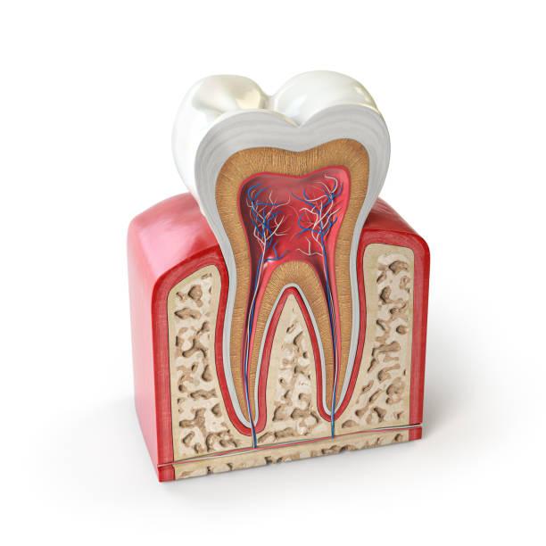 tandanatomie. dwarsdoorsnede van menselijke tand geïsoleerd op wit. - dentine stockfoto's en -beelden