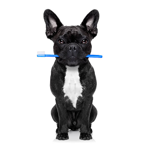 Dental toothbrush dog picture id485801530?b=1&k=6&m=485801530&s=612x612&w=0&h=441bsgv7ltukgt7hj9ewsr vm8sh8fx2youxcafliey=