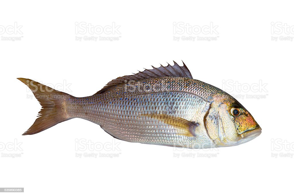 Dentex Dentex fish sparidae from Mediterranean sea stock photo