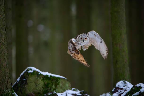 Departure western siberian eagle owl in the forest stock photo