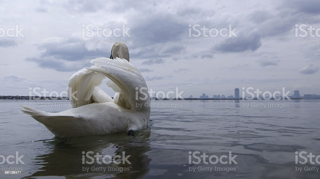 departure,arrivall,swan royalty-free stock photo