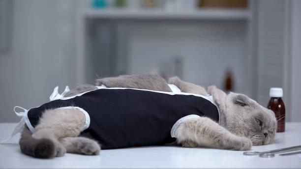depressive katze in verband in tierklinik liegend, genesung nach chirurgischer kastration - whisky test stock-fotos und bilder