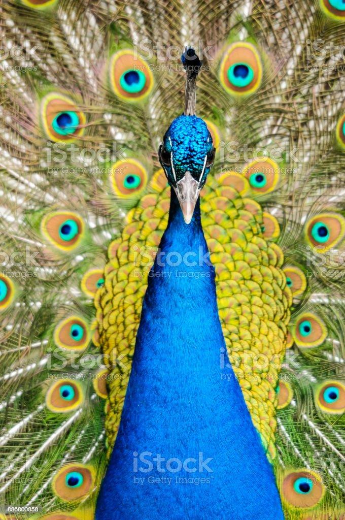 Der Blaue Pfau Und Sein Prachtvolles, Buntes Federkleid – Foto