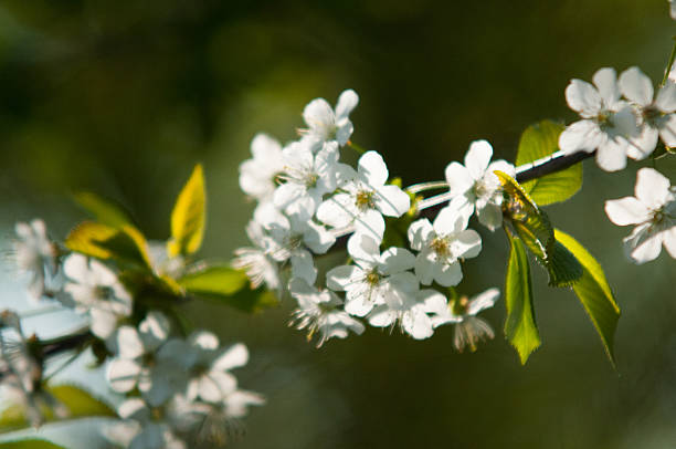 Der Frühling Holly : Cherry Blossom Festival – Foto