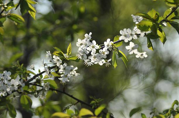 Der Frühling Holly : Cherry – Foto