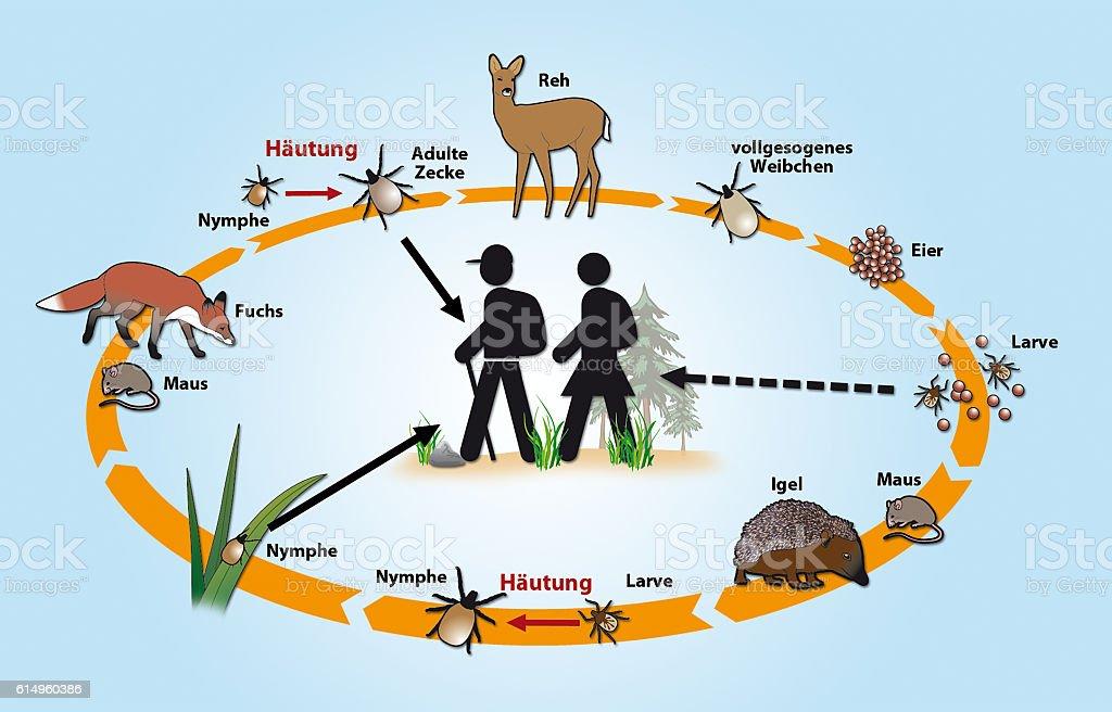Der Lebenszyklus der Zecken – Foto