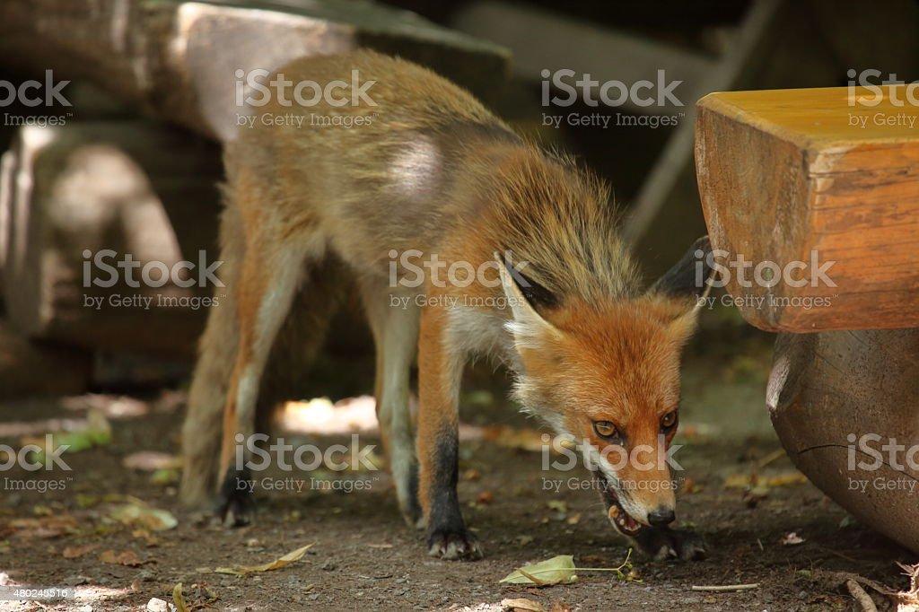 Der Rotfuchs stock photo