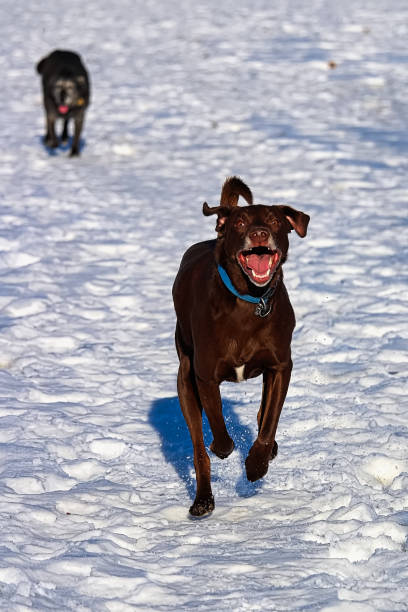 Derpy dog running in the snow with a senior dog behind picture id908141492?b=1&k=6&m=908141492&s=612x612&w=0&h=pufwc8q4s27zdcxfyp8chvevleza6r4ngeeck0c9ojo=