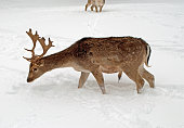 deer, fallow deer, Cervus dama, fallow deer, winter, season, cold, cold, ice, icy, chuck, seeking, foraging, frost, snow, freeze, antler, trophähe, fur, brown, reddish brown, reddish, hunger, forestry, forester , forest, gehege, gate, park, wild park, eat, animal, animals, wild, wildlife, nature, male, hunter, schiesen, hunting, deer, fawn, male, breed, breeds