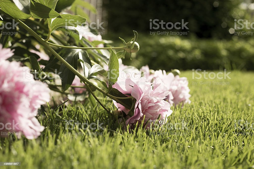 Desaturated Peonies Falling Over Onto Lawn stock photo