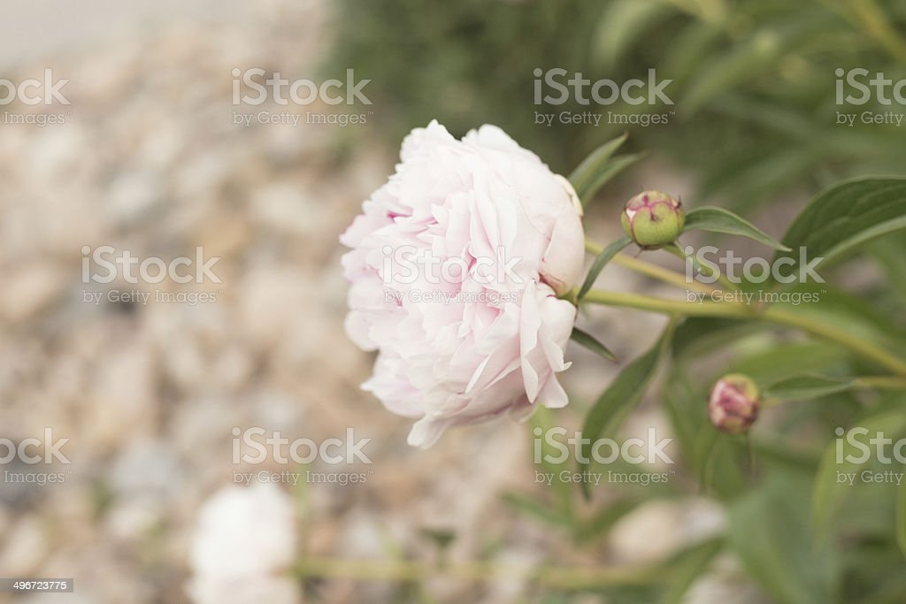 Desaturated Peony Against Rocks stock photo