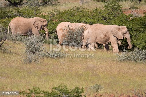 Desert adapted elephants walk and eat the scrub brush and tress of the northwestern region of the Namib Desert known as 'Damaraland.