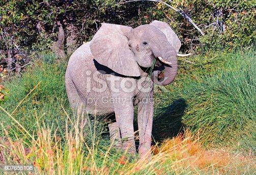 A desert adapted elephant standing in tall green lush grass in Damaraland.