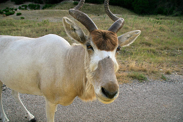 Desert Addax Antelope with toupee