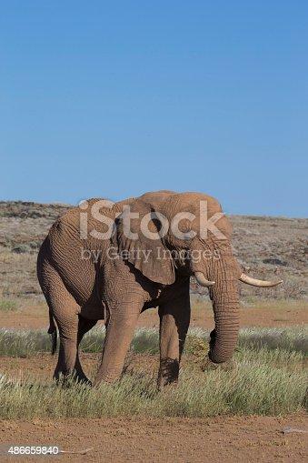 Desert African Elephant bull (Loxodonta africana)