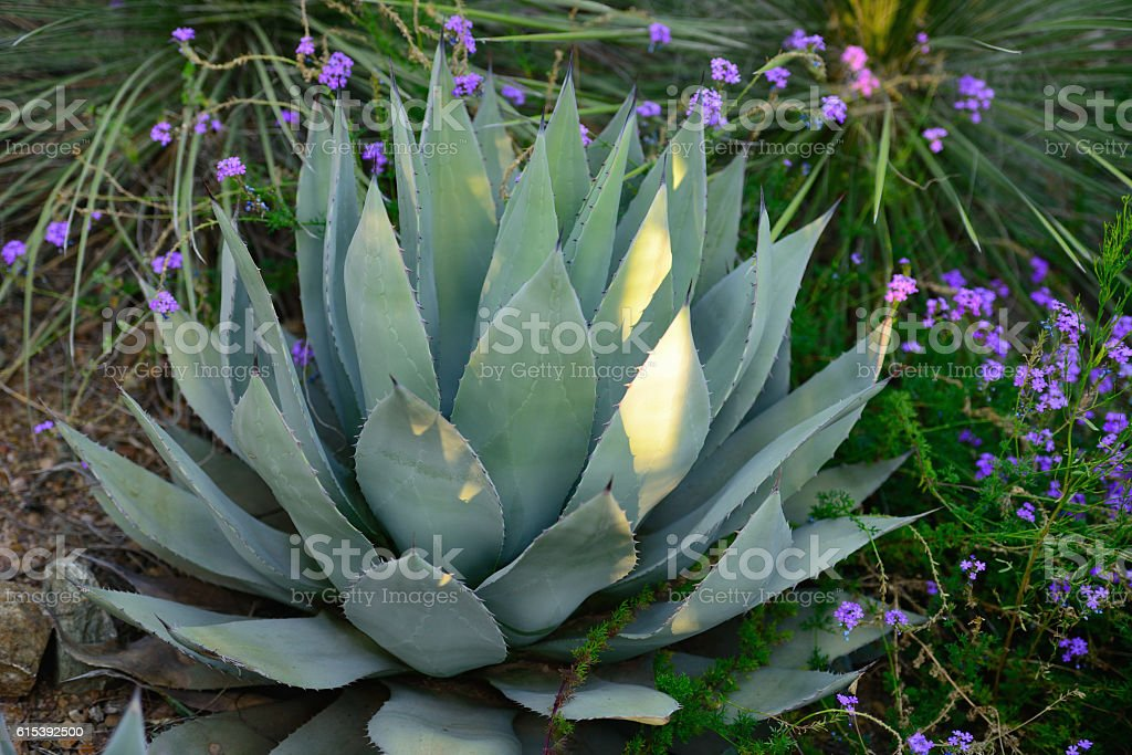 Desert Agave Plant in Southwest USA #2 stock photo