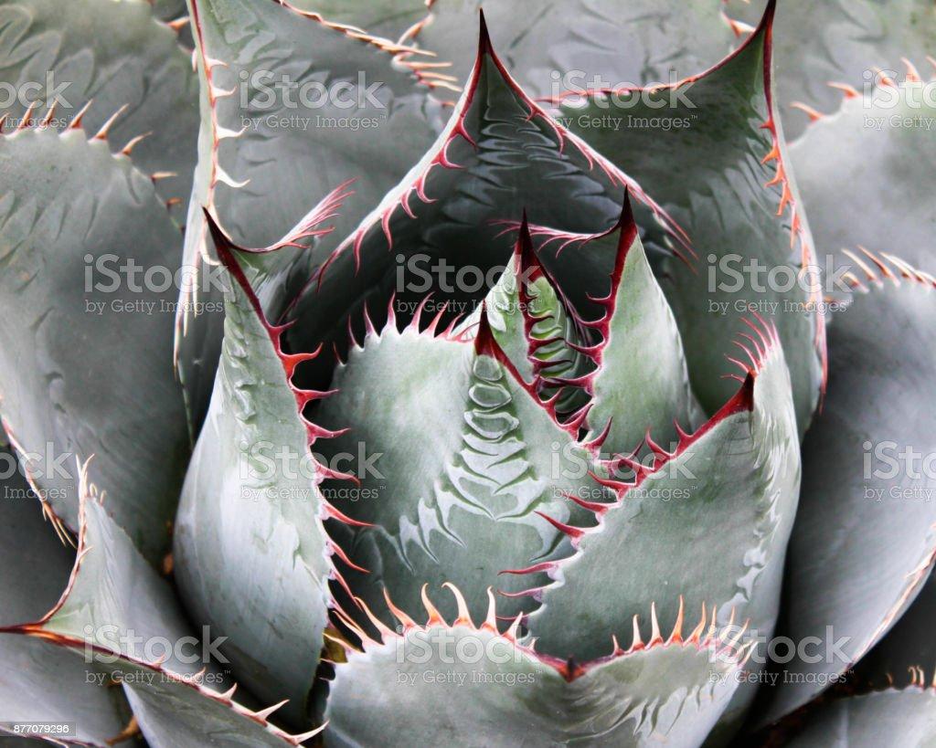 Desert Aloe Vera Plant stock photo