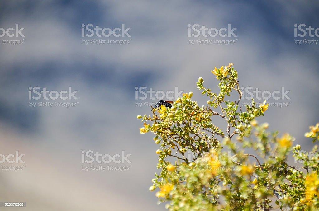 Desert beetle on Larrea tridentata chaparral tree stock photo