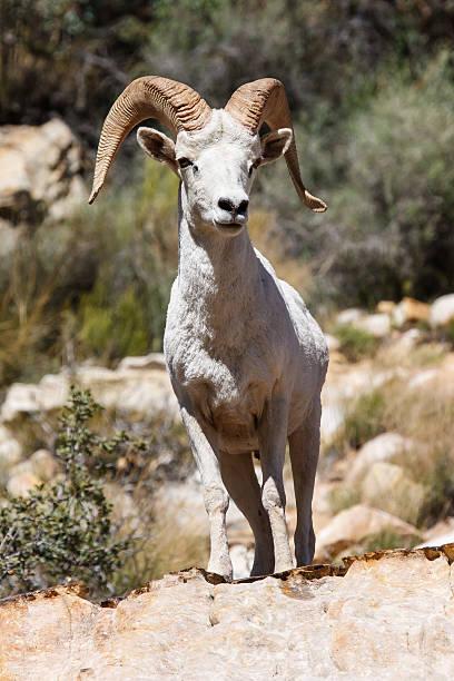 Desert Big Horn Ram Sheep stock photo