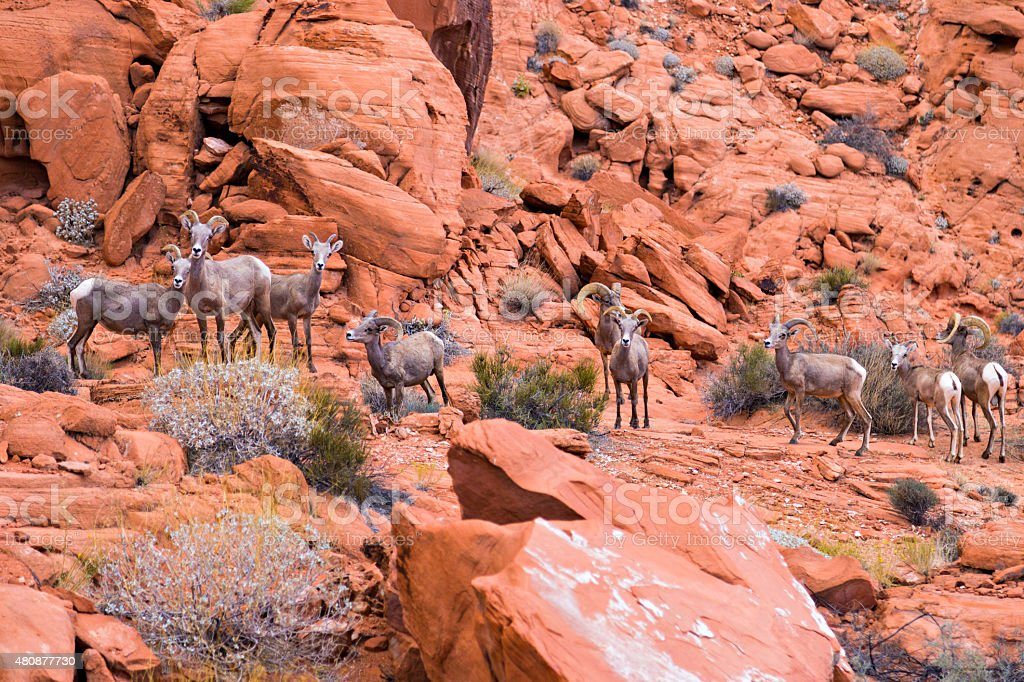 Desert big horn sheep in Valley of Fire State Park stock photo