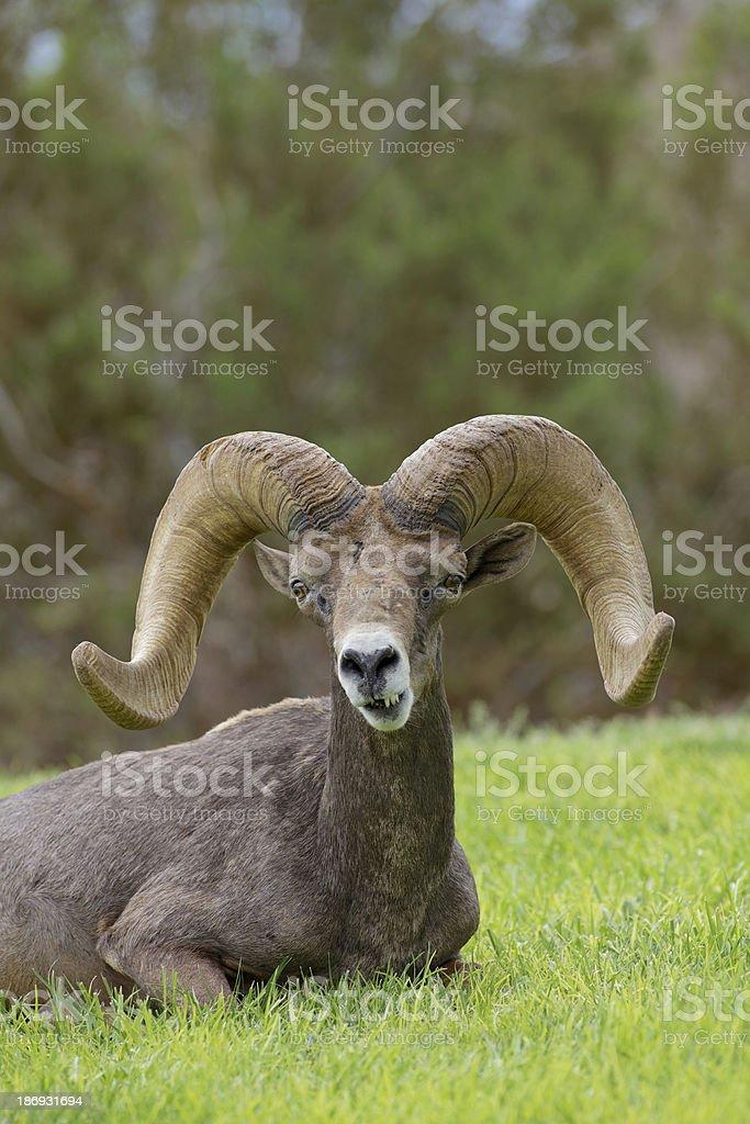 Desert Bighorn Ram Bedded royalty-free stock photo