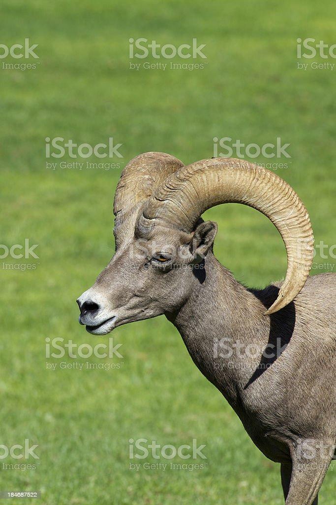 Desert Bighorn Ram royalty-free stock photo