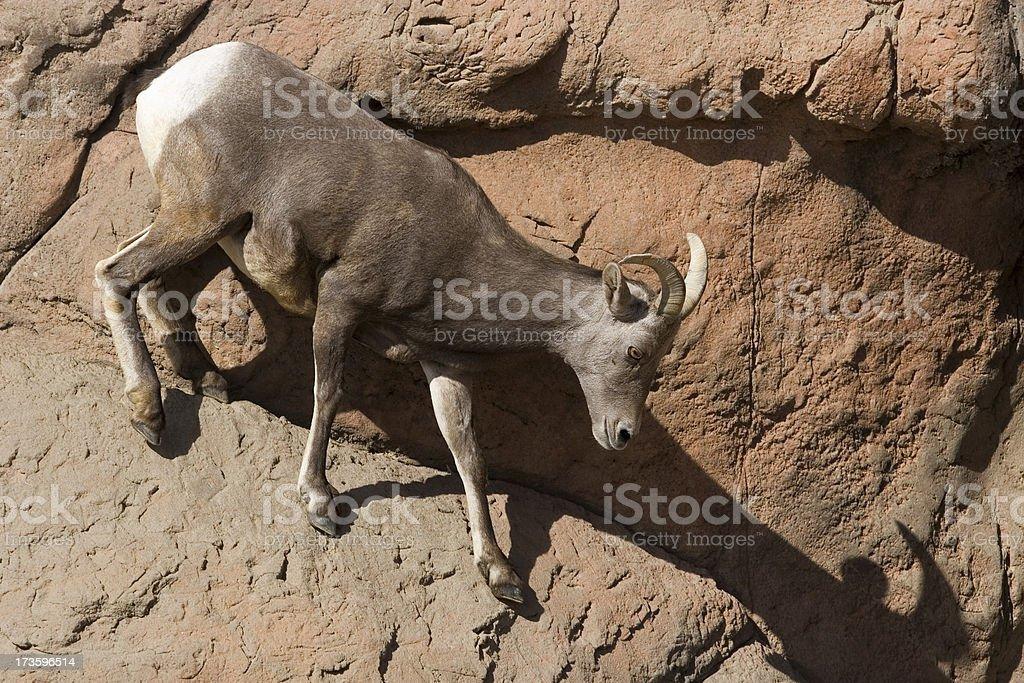 Desert Bighorn Sheep - Heading Down royalty-free stock photo