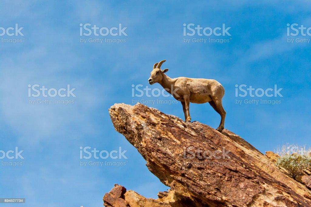 Desert Bighorn Sheep in Anza Borrego Desert State Park. California, USA stock photo