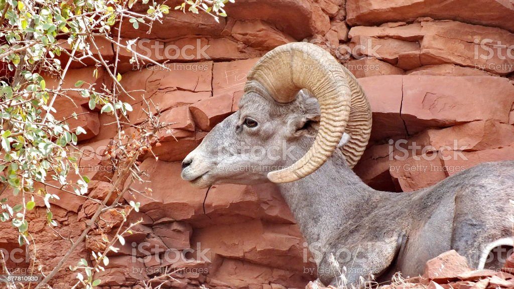 Desert bighorn sheep on a mountainside in the Grand Canyon. stock photo