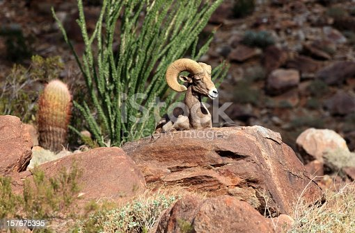 Endagered desert bighorn ram sitting on red rocks with ocotillo tree and barrel cactus.  Looking to the right.