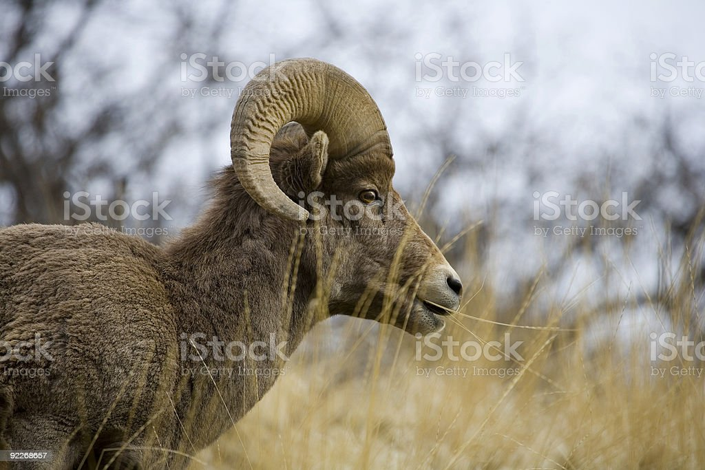 Desert Bighorn Sheep. royalty-free stock photo