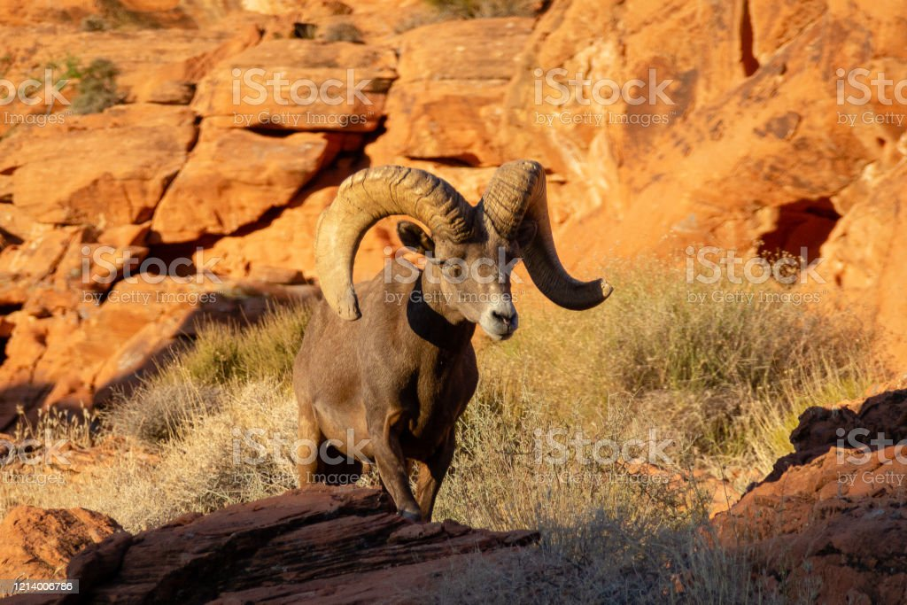 Desert Bighorn Sheep Ram In Valley Of Fire State Park Nevada Stock Photo Download Image Now Istock