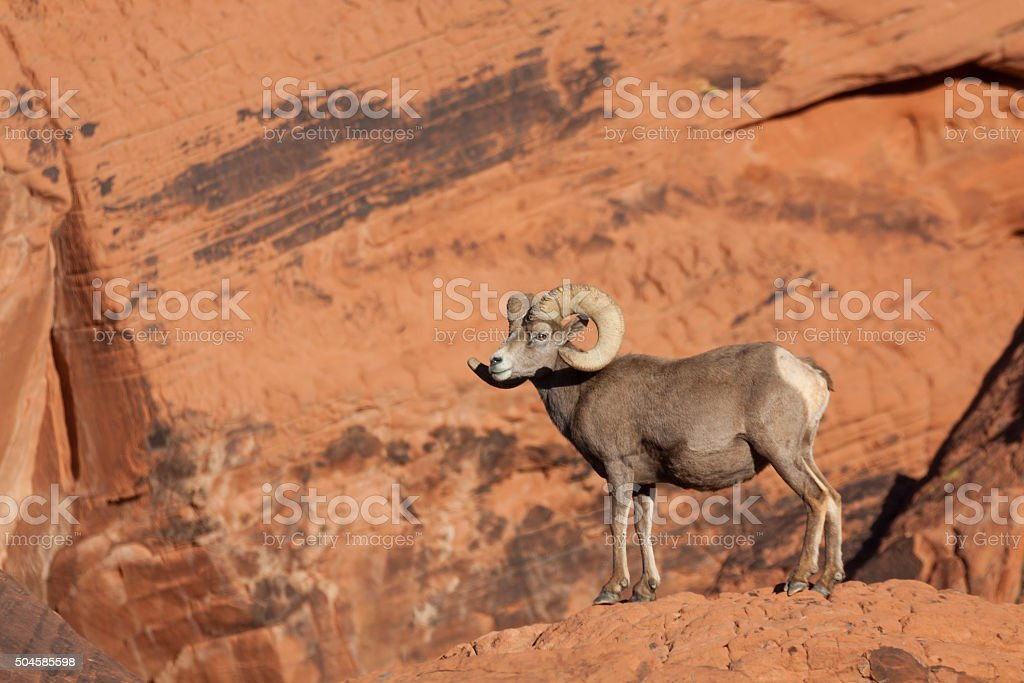 Desert Bighorn Sheep Ram Stock Photo Download Image Now Istock