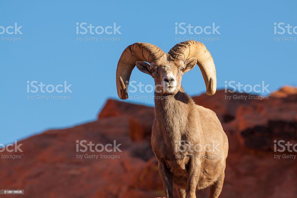 Desert Bighorn Sheep Ram a desert bighorn sheep ram head on Animal Stock Photo