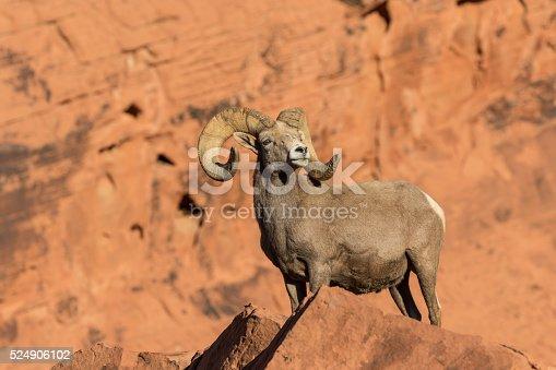 a nice desert bighorn sheep ram