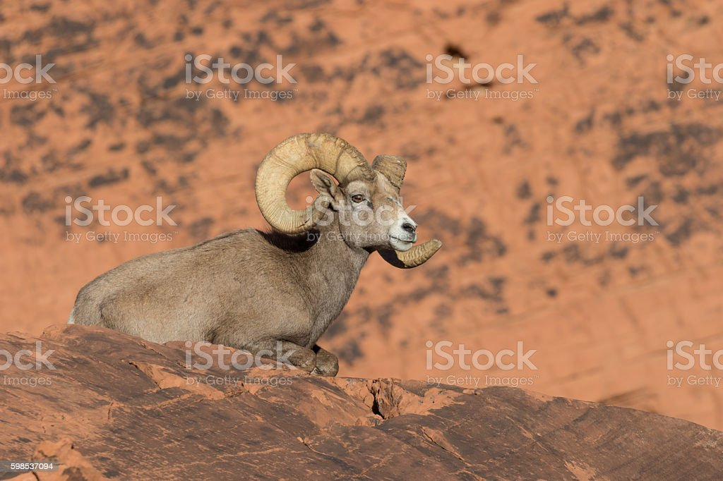 Desert bighorn Sheep ram photo libre de droits