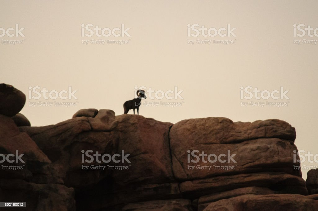 Desert Bighorn Sheep standing on a rock at Dawn stock photo