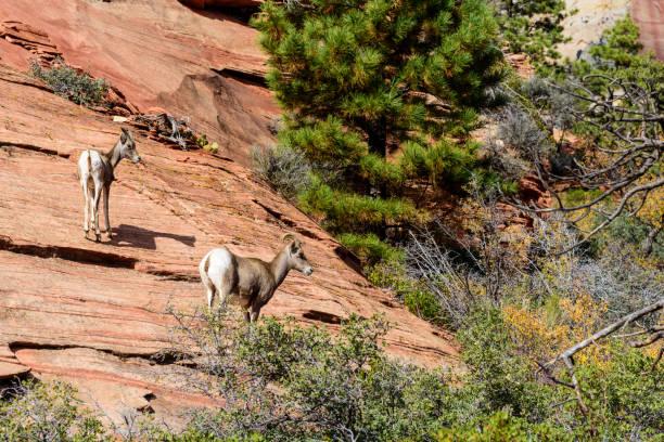 Desert Bighorn Sheep, Zion stock photo