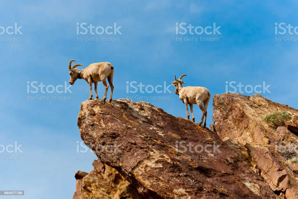 Desert Bighorn Sheeps in Anza Borrego Desert State Park. California, USA stock photo